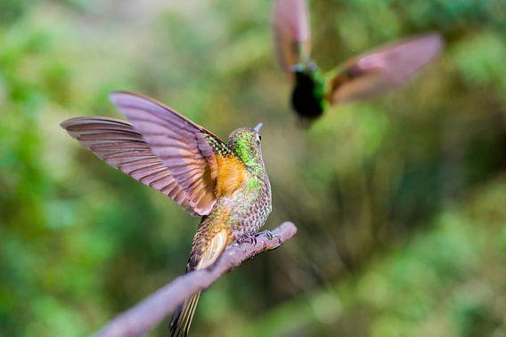 kolibrie in actie