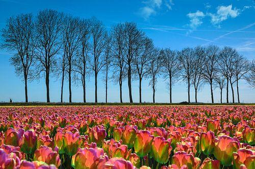 Tulpenveld in de polder, Nederland