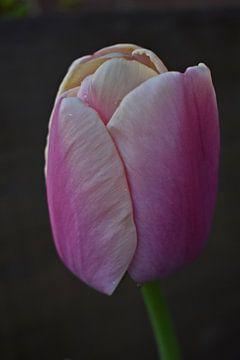 Rosa Tulpe von Daphne van der straaten