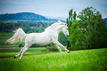 Pferd im Einsatz in der Nähe der Berge von Lotte van Alderen