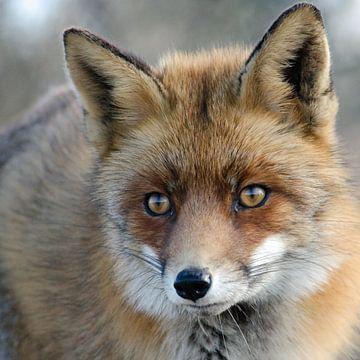 portrait d'un renard sur Petra Vastenburg