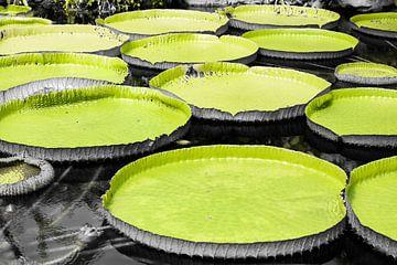 Reusachtige bladeren van de reuzenwaterlelie van Fotografie Jeronimo