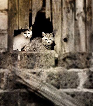 CATCHY ! Katten op hooizolder. van Borgo San Bernardo