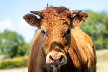 Limousin Koe van Marjan Slaats