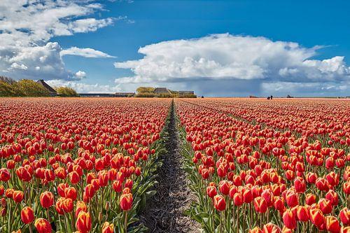 bollenvelden met tulpen in bloei van