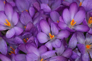 Veld met paarse krokussen in detail