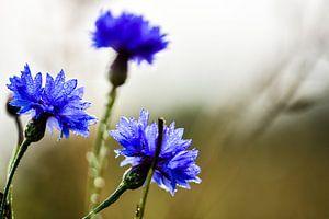 korenbloemen in het veld van