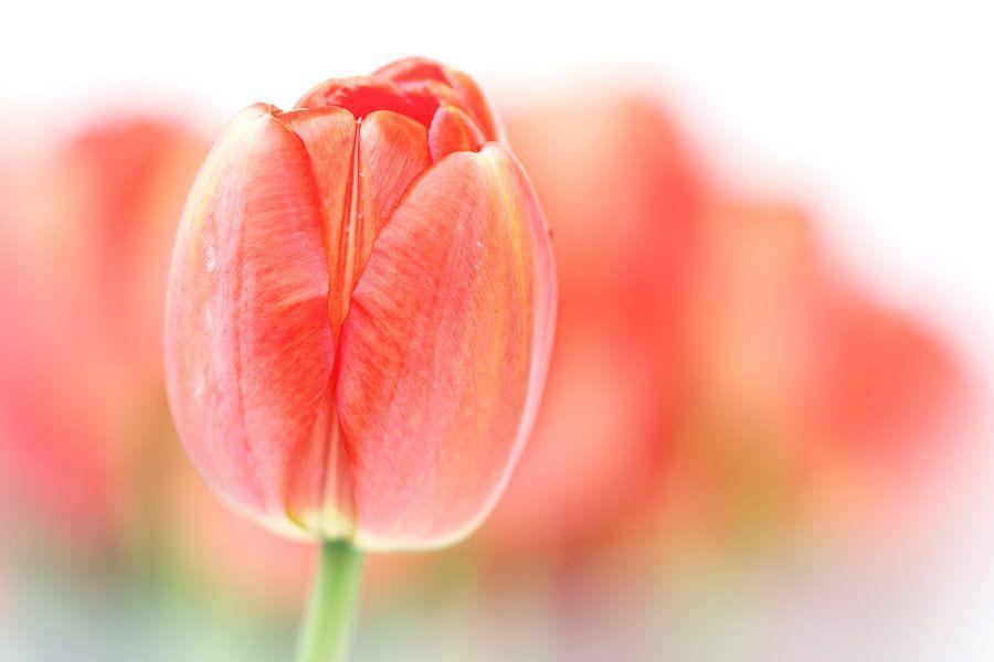 Sweet fresh Tulip... (2) (bloem, tulp)