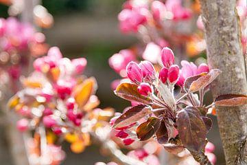 Zweig mit rosa Apfelblüte im Frühling von Ans van Heck