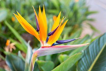 Makro Bild oder Makroaufnahme von Paradies Blume Strelitzia reginaei von Ben Schonewille