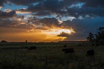 Koeien in de vroege ochtendzon van Edwin Harpe