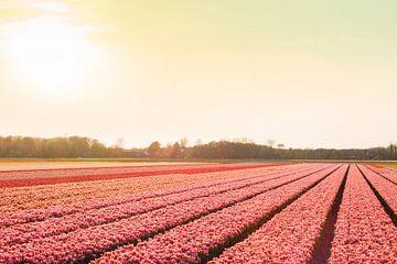 Roze bloembollenvelden bij Lisse van Stefanie de Boer