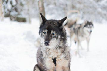 'Husky' Fins Lapland van Rick Van der Poorten