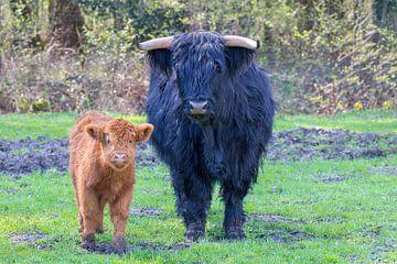 Zwarte Schotse Hooglander koe en bruin kalf samen in de wei van Ben Schonewille