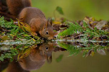 Drinkende eekhoorn van Tom Smit