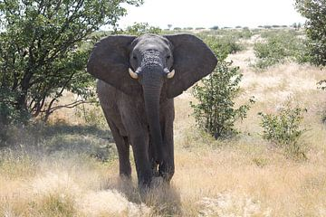 Aanstormende olifant in Afrika van R.Phillipson