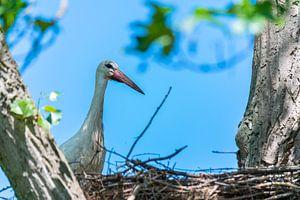 De ooievaars en de kleintjes wachten op hun nest terwijl de partner op zoek is naar voedsel van Matthias Korn