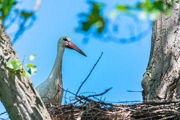 Die Störche und die Kleinen warten auf ihre Nester, während der Partner nach Futter sucht von Matthias Korn