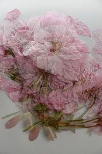 Rosa Blume von Sanne Van der avoird