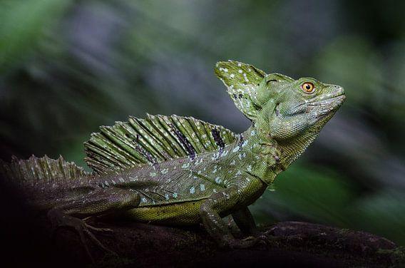Basilisk hagedis / basilisk lizard