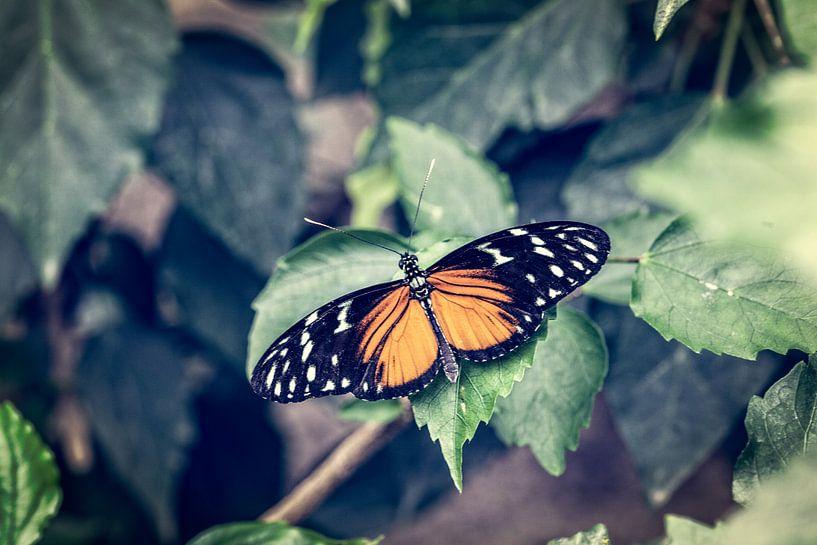 Tiger Longwing Butterfly von Tim Abeln