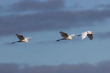 Silberreiher fliegen bei bewölktem Himmel über die Insel. von John Stijnman