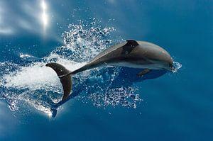 Duikende Dolfijn van