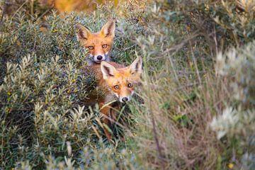 twee vossen van Pim Leijen