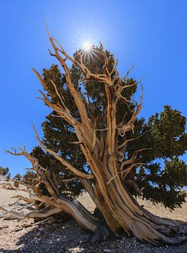 Bristlecone Pine Forest, California, USA. van Henk Meijer Photography