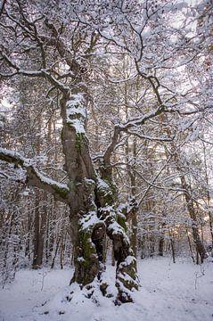 Winterliche Hutebuche