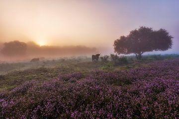 Schottischer Highlander auf der Heide von Dennisart Fotografie