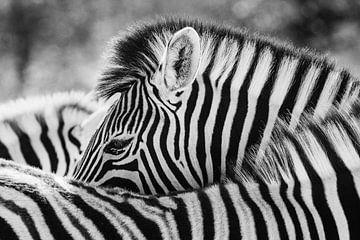 Zwart-wit portret van een steppezebra / zebra - Etosha, Namibië von Martijn Smeets