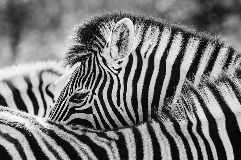 Zwart-wit portret van een steppezebra / zebra - Etosha, Namibië van Martijn Smeets