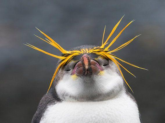 Royal Penguin (Eudyptes schlegeli) genietend van de namiddag. van Beschermingswerk voor aan uw muur