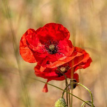 Poppy von Stefanie van Dijk