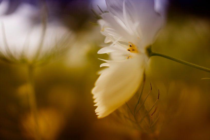 Witte bloem van Juliën van de Hoef