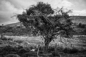 Märchenbaum in Irland (B&W) von Bo Scheeringa Photography