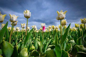 Bloeiende witte tulpen en een roze tulp in het voorjaar van Sjoerd van der Wal