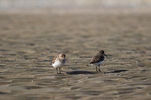 Strandlopers op het strand
