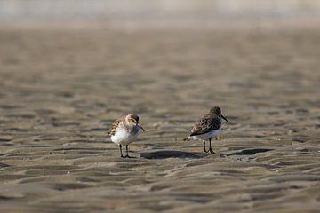 Strandlopers op het strand van Marcel Alsemgeest