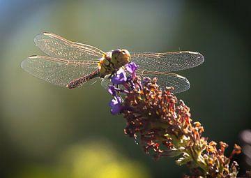 Goldwing Libelle van Cornelius Fontaine