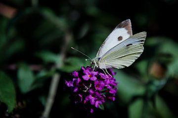 Grand charbon blanc sur un buisson de papillon sur Ricardo Bouman