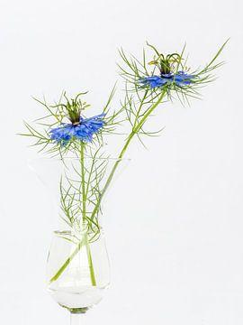 Jungfer im Grünen (Nigella damascena) von Kok and Kok