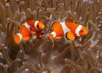 2 clownfish von Jos Pannekoek