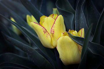 gele tulpen van Kristof Ven