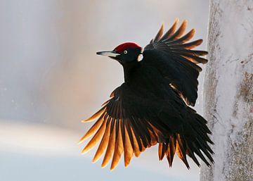 Männlicher Schwarzspecht fliegt mit schönem Gegenlicht. von AGAMI Photo Agency