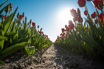 Rode tulpen van Jacky van Schaijk