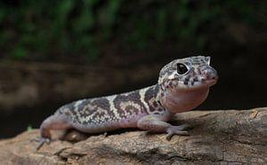 Een jagende Gebandeerde gekko (Coleonyx mitratus)