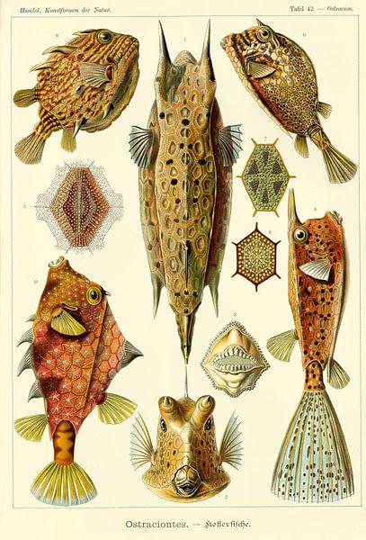 Ostraciontes - Ernst Haeckel - 1904 van Het Archief