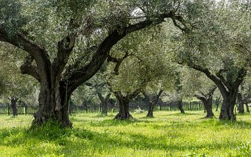 Olivenhain in Griechenland von Daan Kloeg